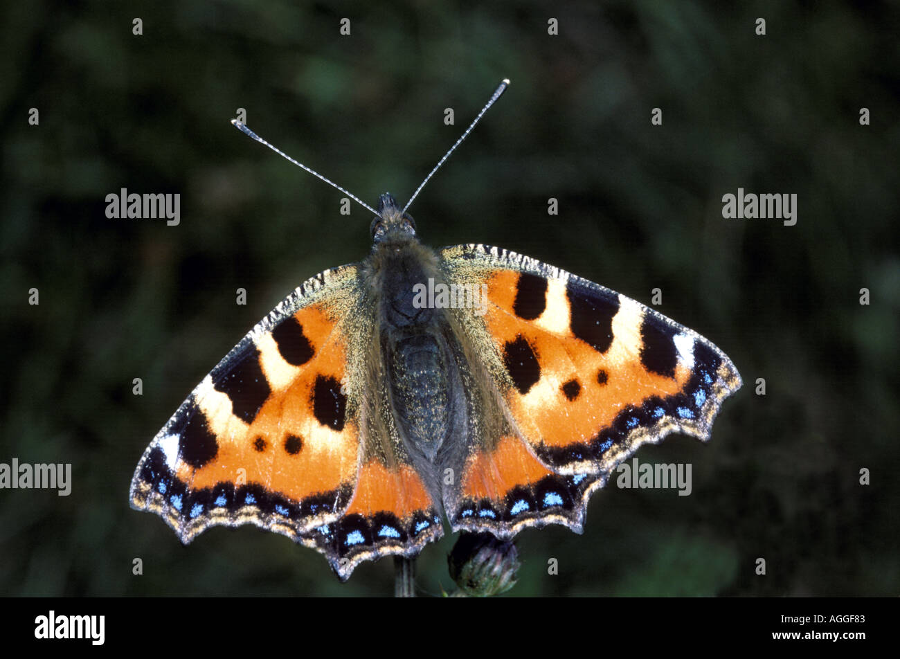 Small Tortoiseshell butterfly Aglais urticae Stock Photo