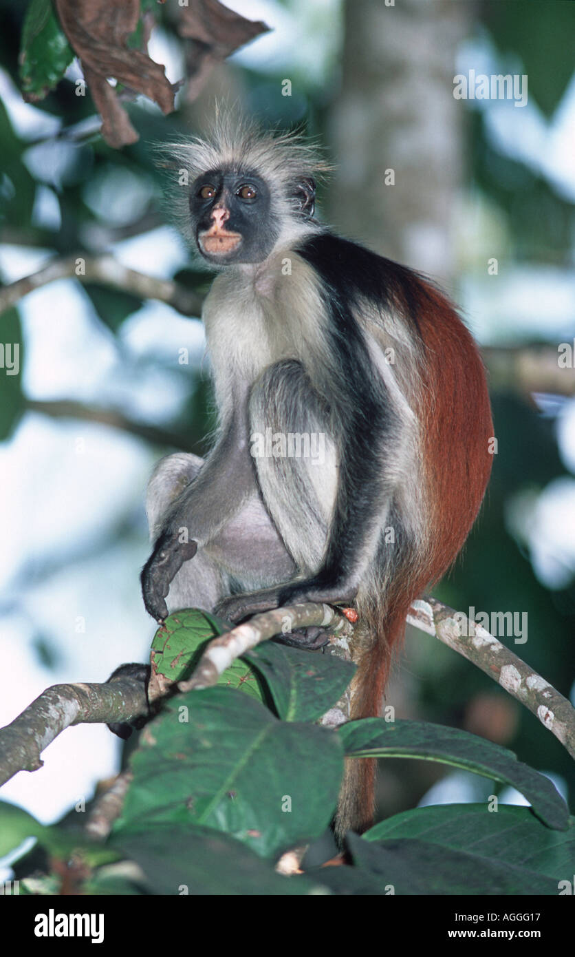 Red Colobus Monkey Jozani Forest National Reserve Zanzibar Tanzania East Africa Endangered and protected species - Stock Image
