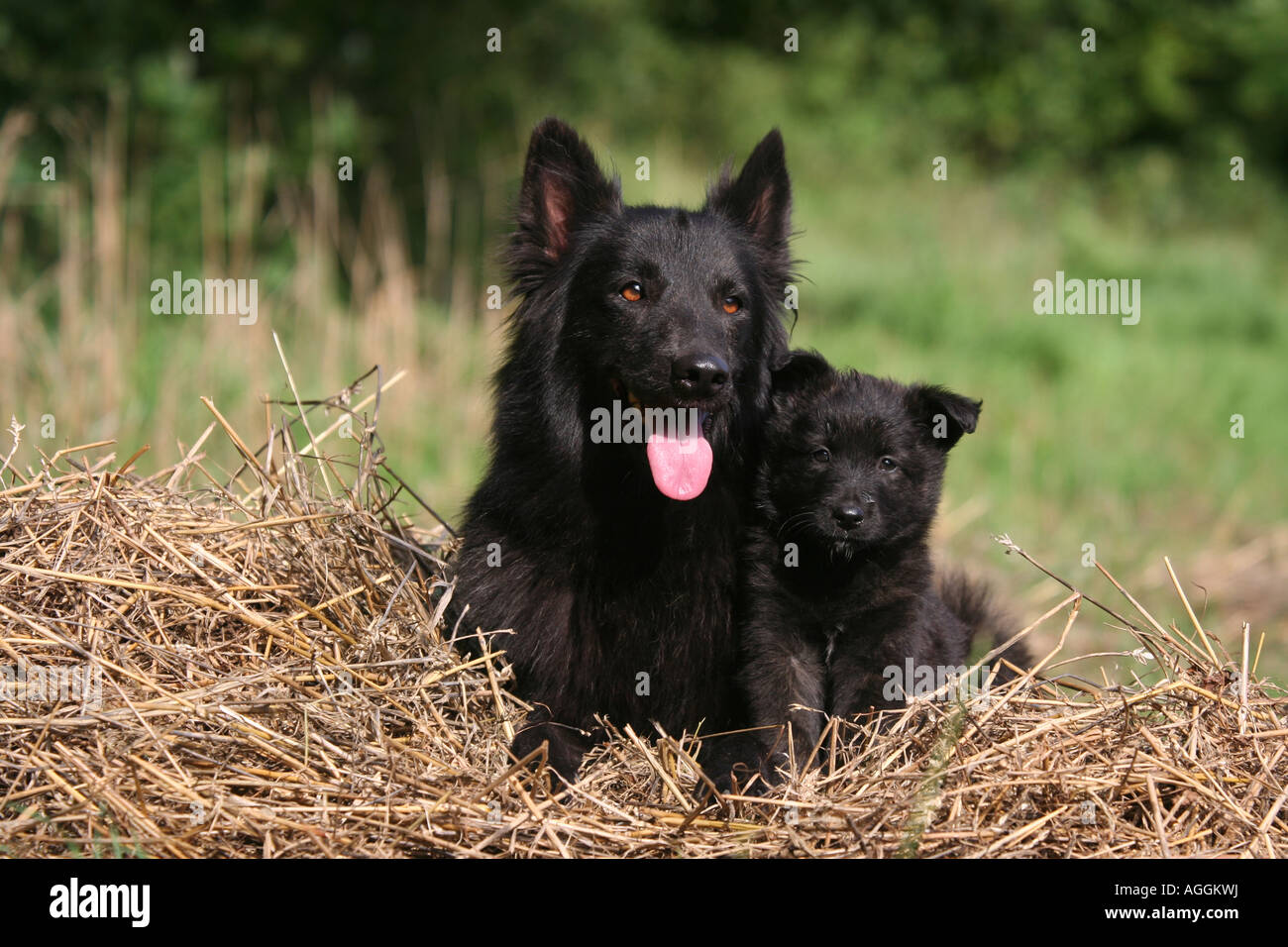 Dutch Shepherd Dog Adult And Puppy Stock Photo 14206493 Alamy