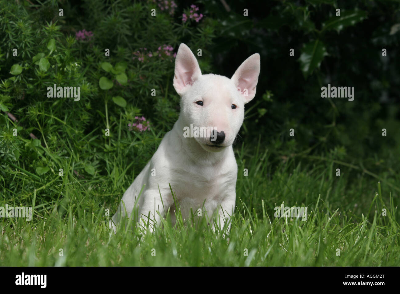 Dog English Bull-Terrier Miniature Puppy - Stock Image