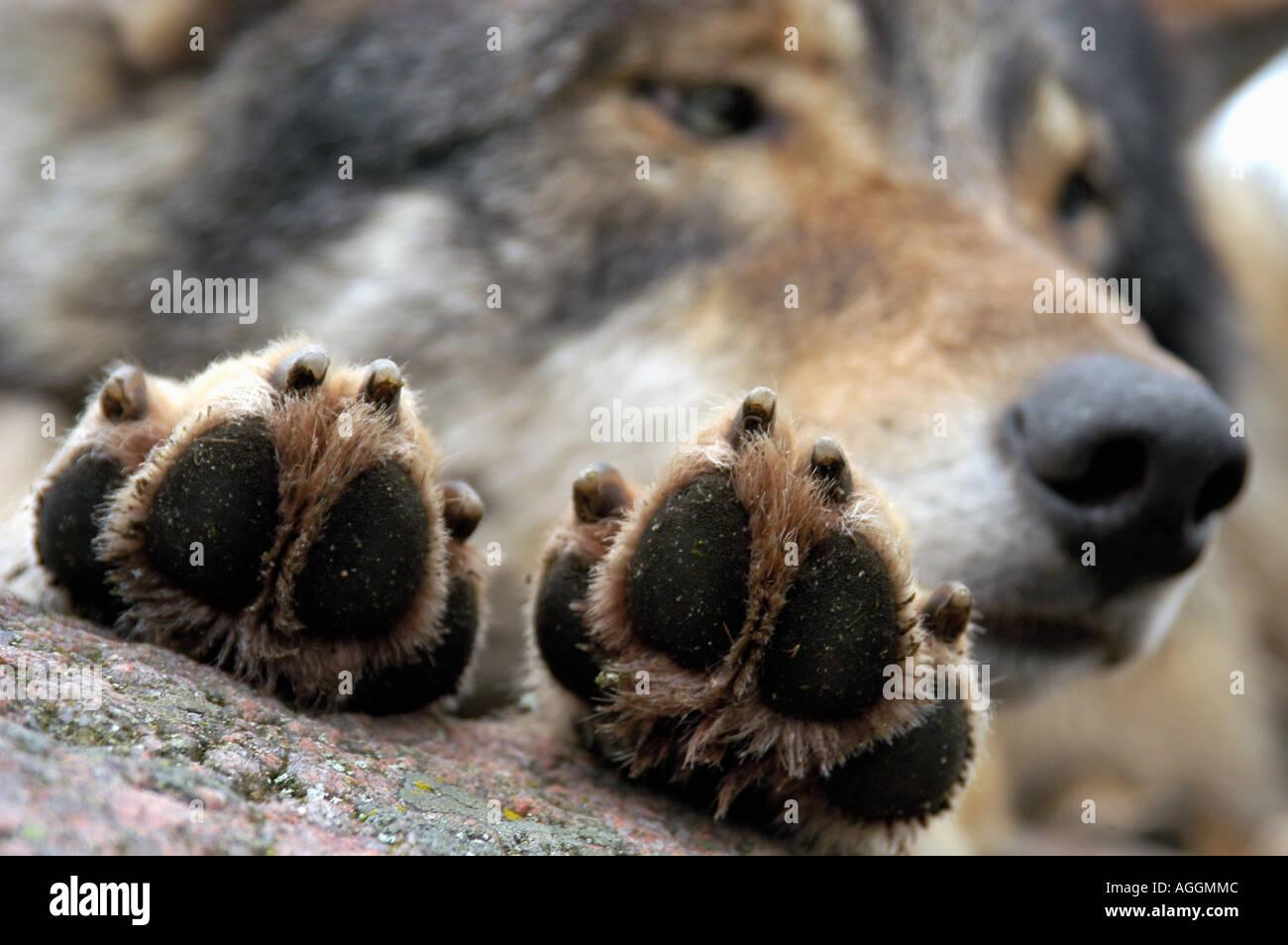 claws of a resting wolf, Kolmården Wildlife Park, Sweden - Stock Image