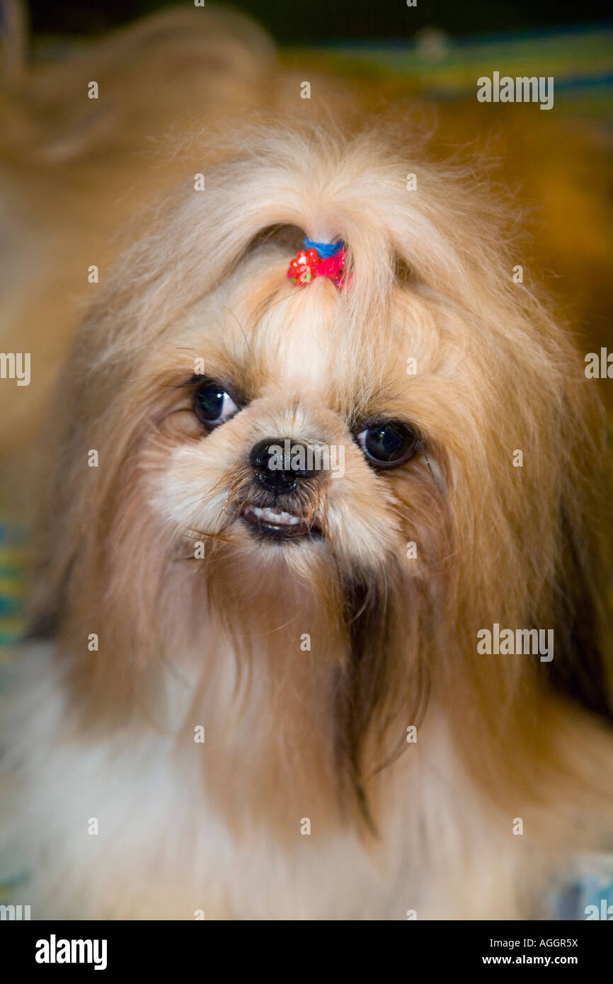 'Angry Dogs' Portrait of Angry Pekingese Dog Breed showing teeth_ Thailand pet with ribbon in hair. - Stock Image