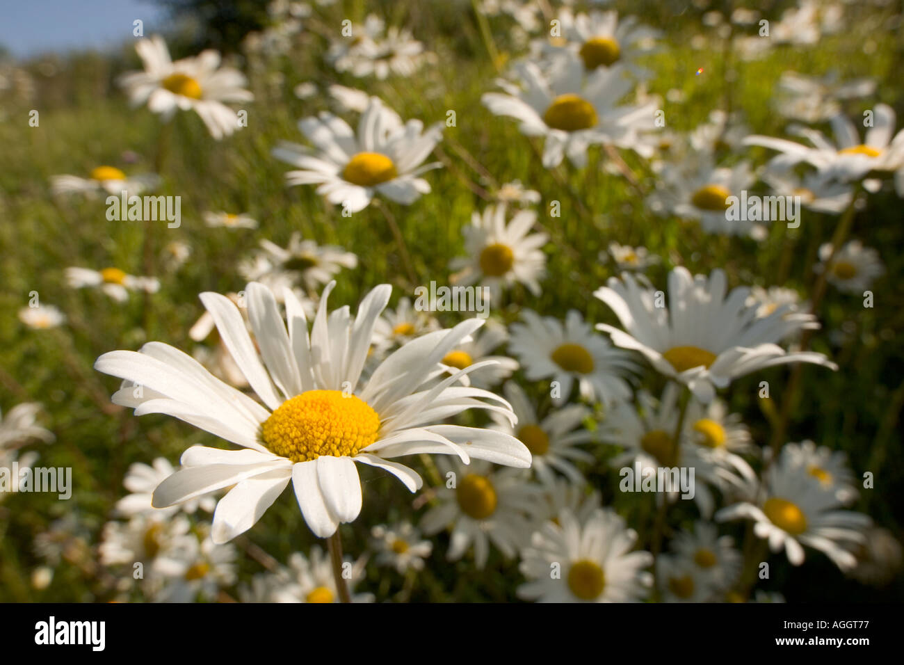 Oxeye daisies on bank beside a road Stock Photo
