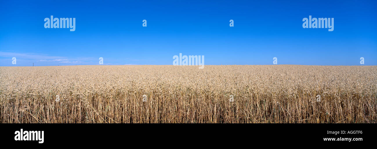Canada Alberta New Norway Wheat field awaits harvest under clear Indian summer sky on Canadian prairie - Stock Image