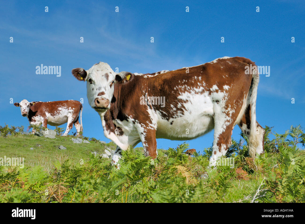 Identical and cloned cows on pasture, Isle of Skye, Scotland - Stock Image