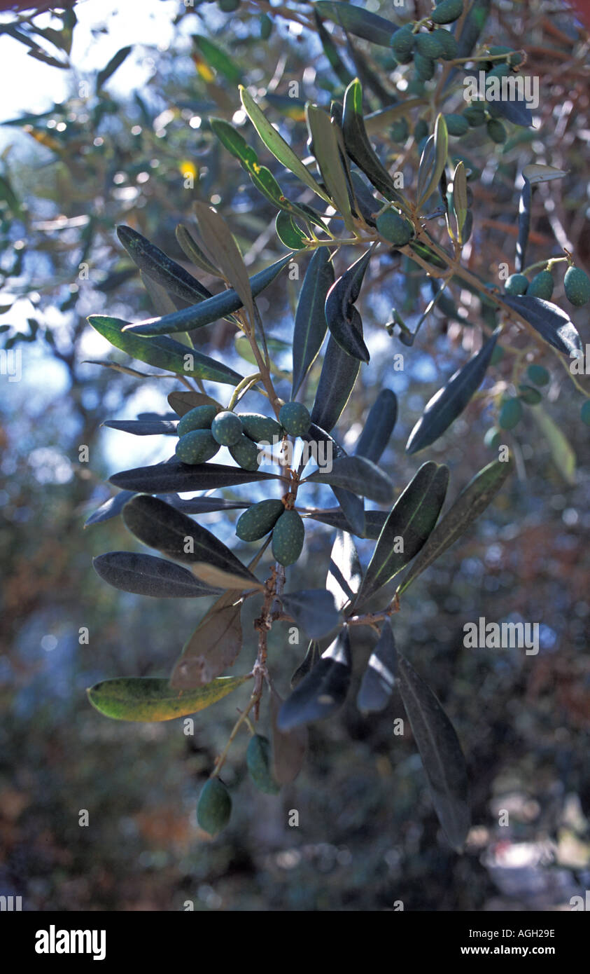 Close up of one of the oldest olive trees on the island at Exo Chora Zakynthos Island Ionian islands Greece Europe - Stock Image