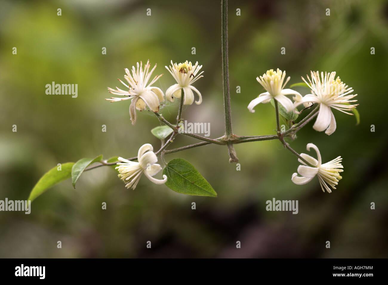 Traveller's Joy (Old Man's Beard) Clematis vitalba in flower @ Potteric Carr Nature Reserve South Yokshire - Stock Image