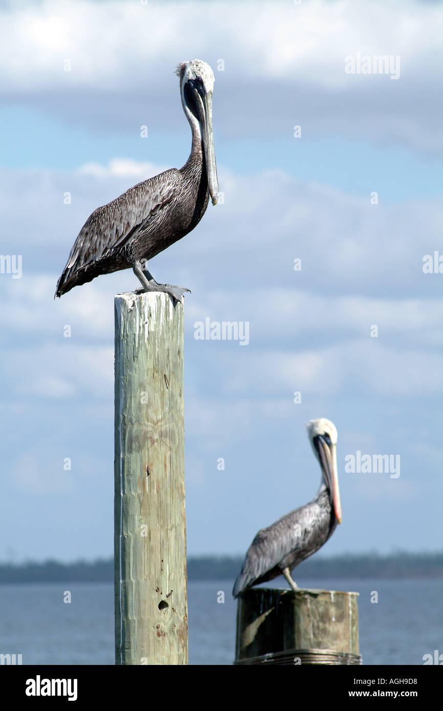 Captiva Island SW Florida USA birding Brown Pelicans Stock Photo