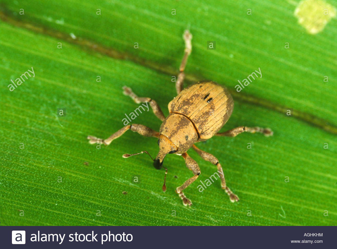 Biological control weevil Neochetina bruchi used in the control of water hyacinth Thailand - Stock Image