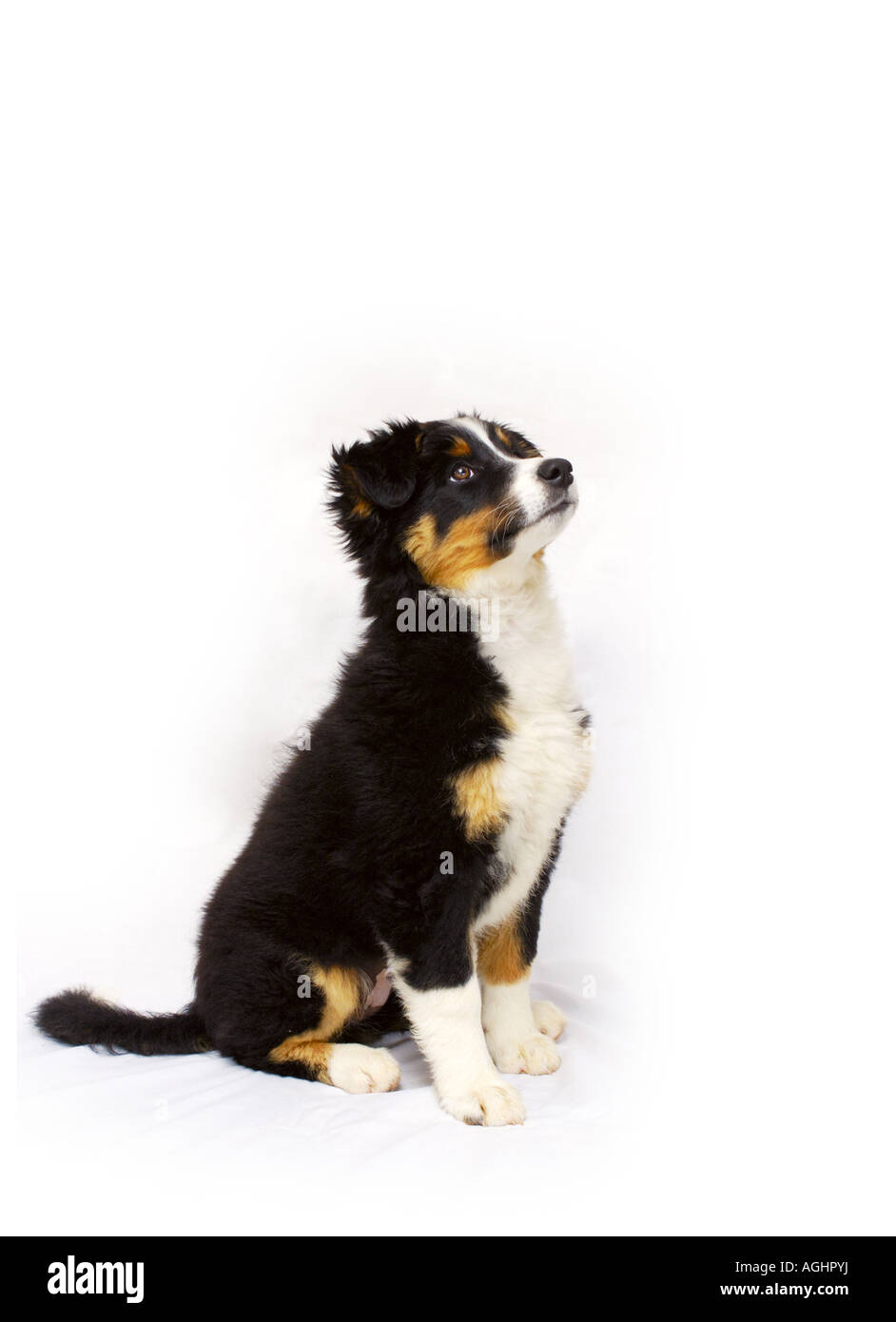 Collie puppy on white - Stock Image