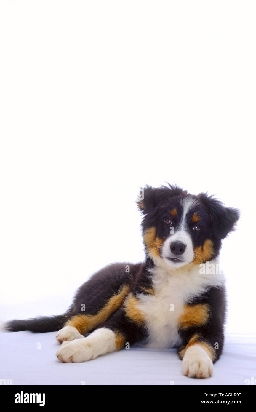 Portrait Of A Young Dog Cross Between A Border Collie And A