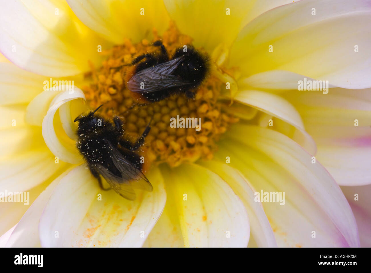 Insects bumblebees feeding on Dahlia - Stock Image