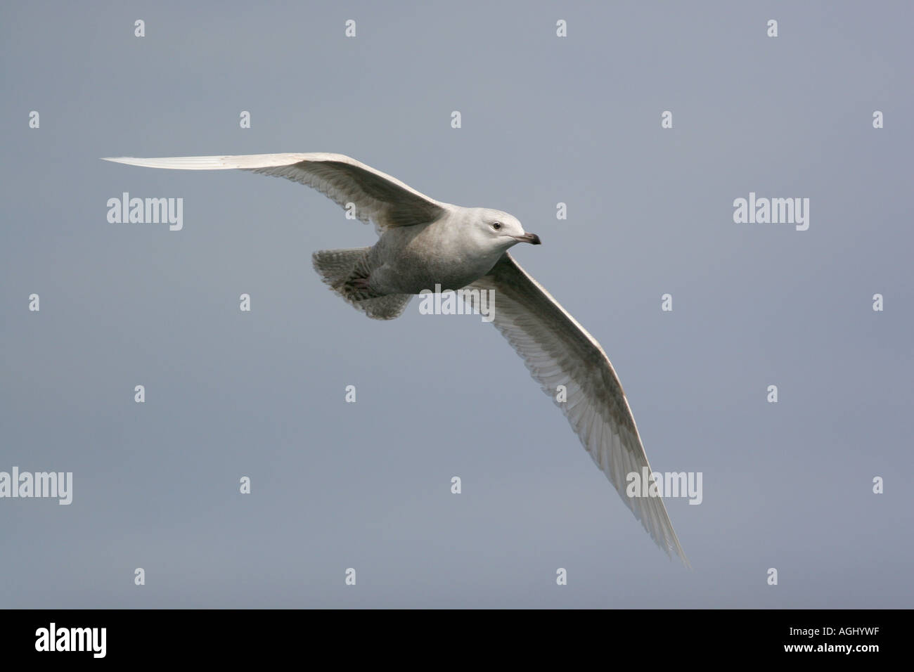 Iceland Gull, Larus glaucoides, 1st winter, Outer Hebrides, Scotland - Stock Image