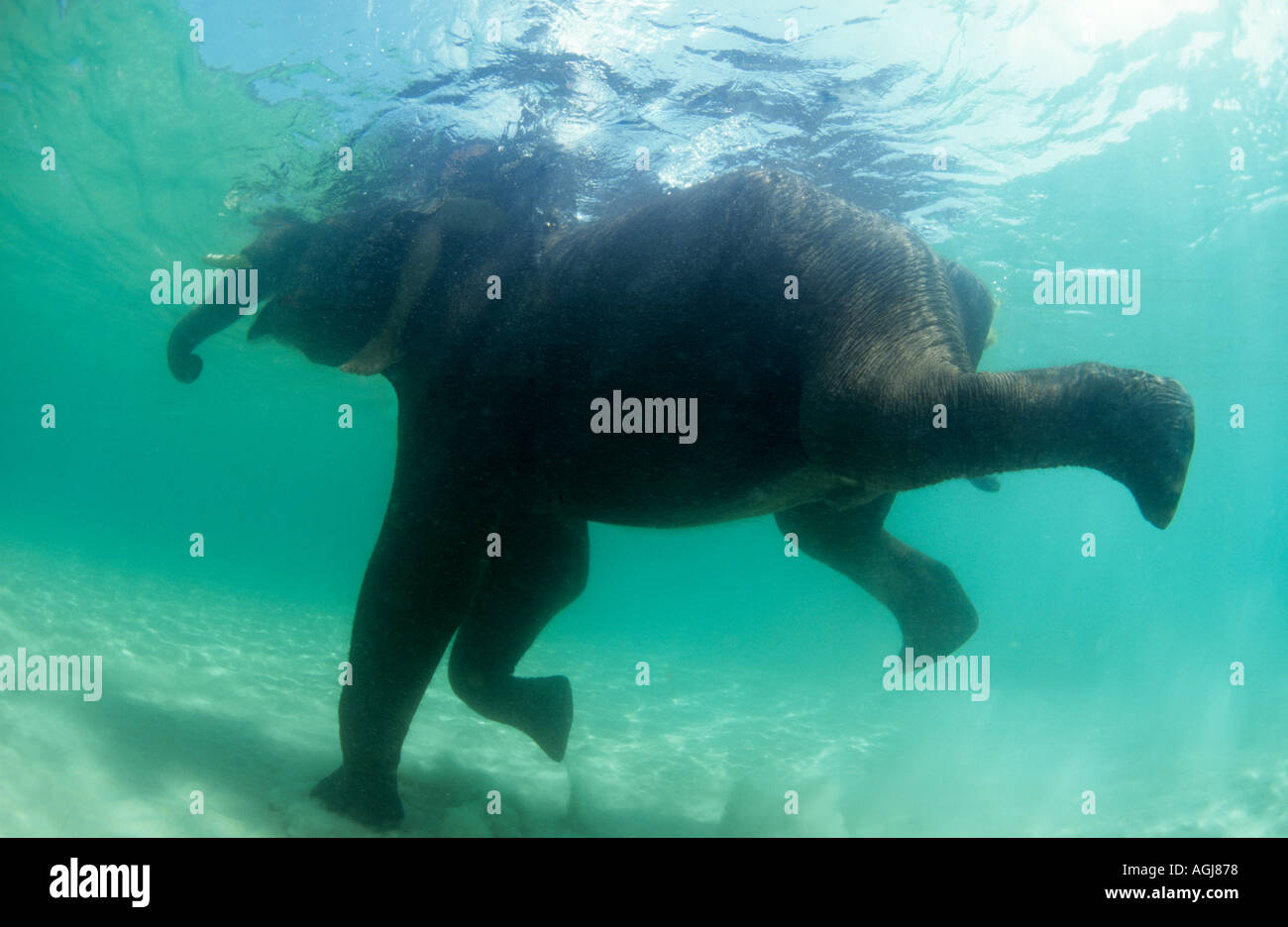 Elephant swimming underwater in THailand - Stock Image
