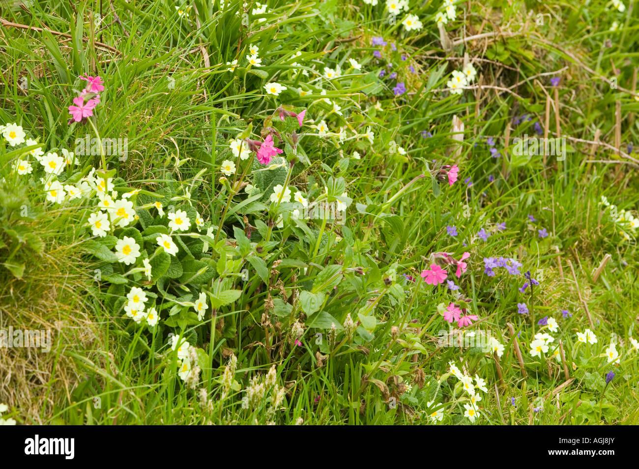 spring wildflowers on the Cornish coast, Cornwall, UK Stock Photo