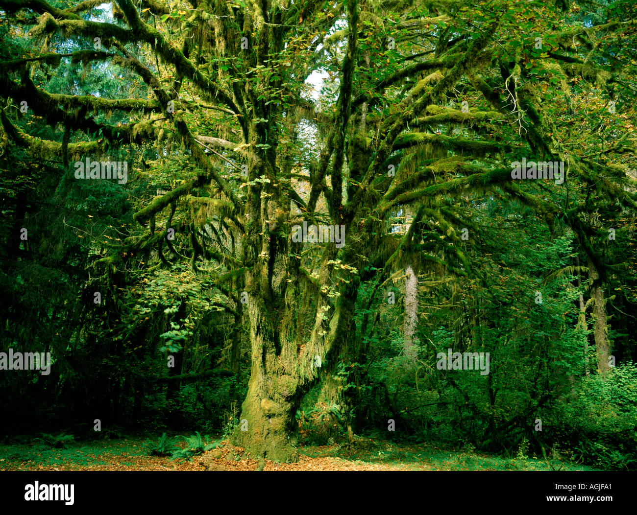 Olympic National Park in Washington showing moss covered trees in the Hoh Rain Forest Stock Photo