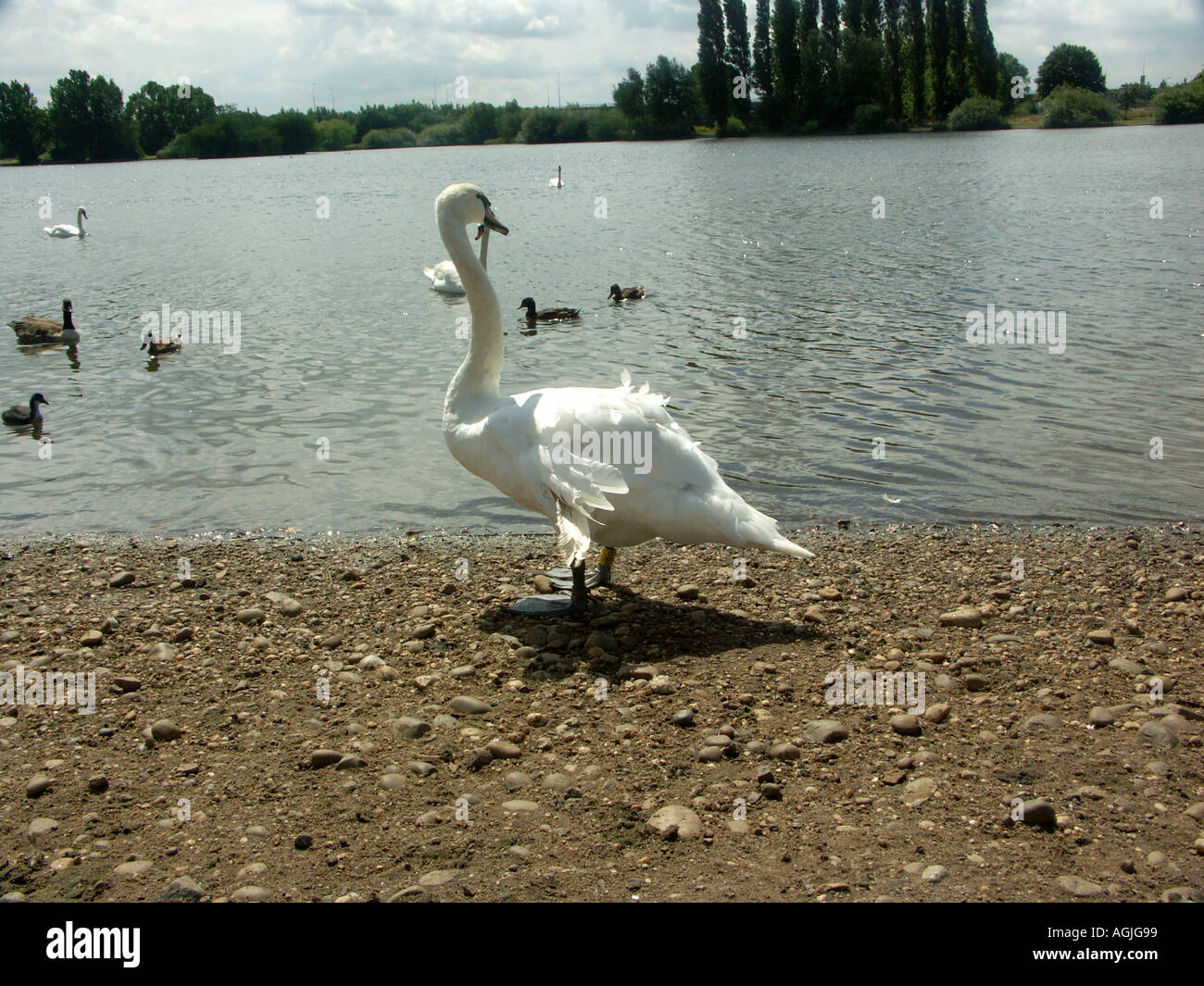 A Mute Swan with a damaged wing by a lake. Stock Photo