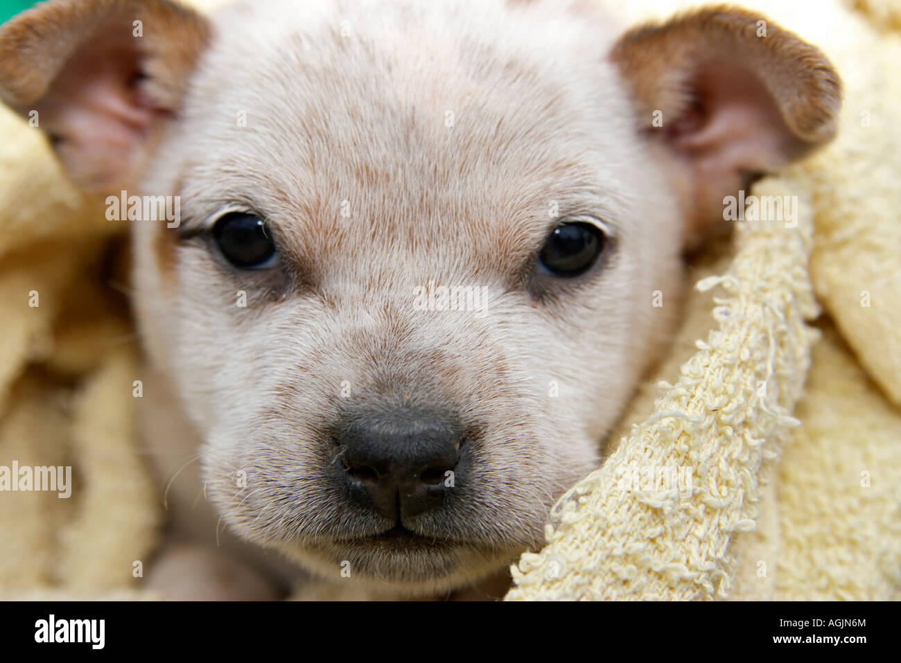 a cute and adorable fox terrier puppy dog wrapped in a blanket - Stock Image