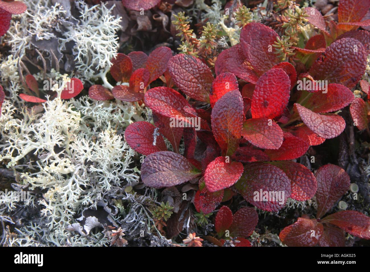 fall color of the ground shrubs Denali National Park Alaska USA ...