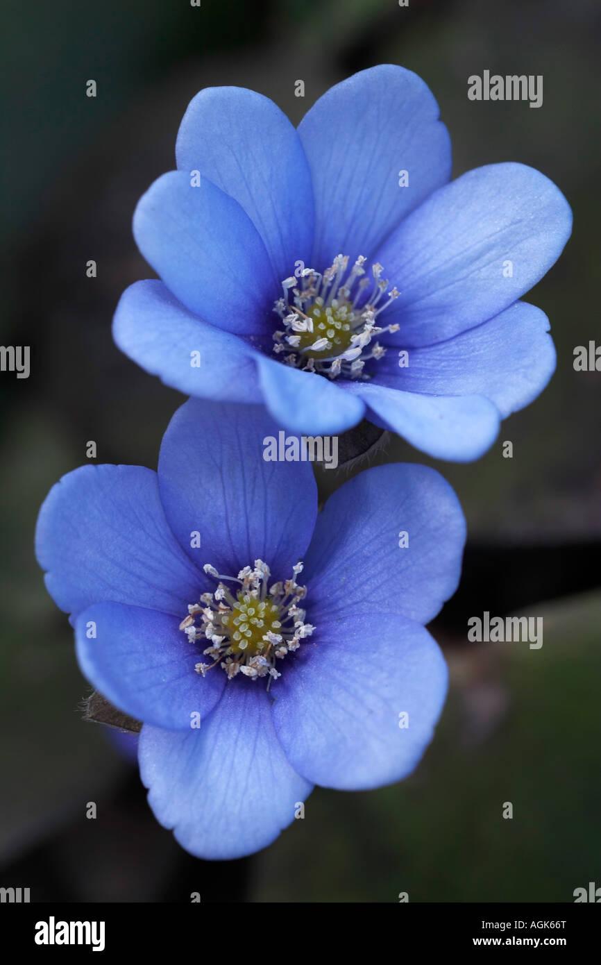 Leberbluemchen Hepatica nobilis Blueten Common Hepatica Hepatica nobilis flowers Stock Photo