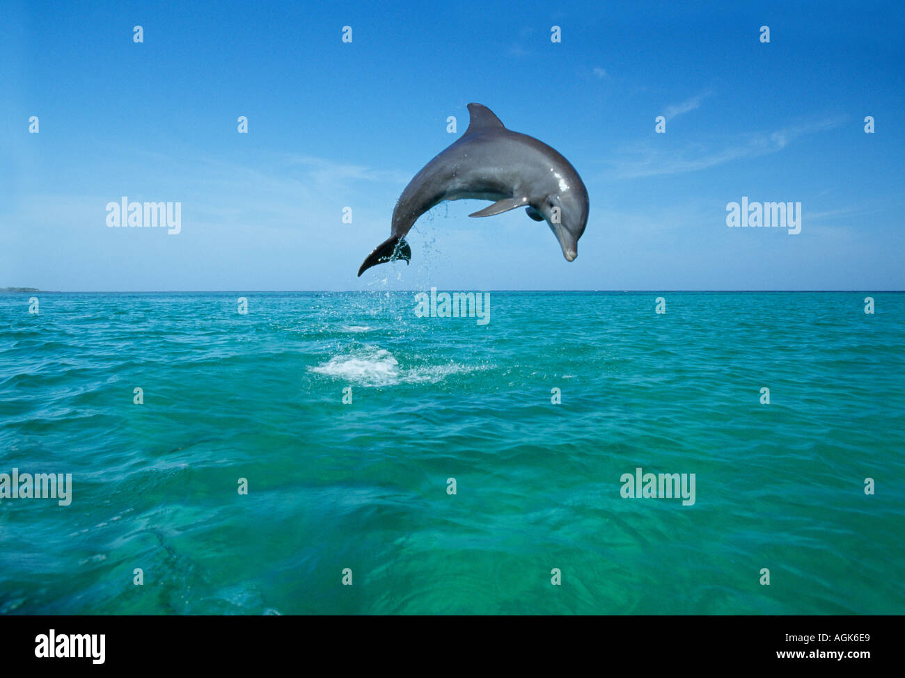 Bottle nosed Dolphin jumping Honduras Central America - Stock Image