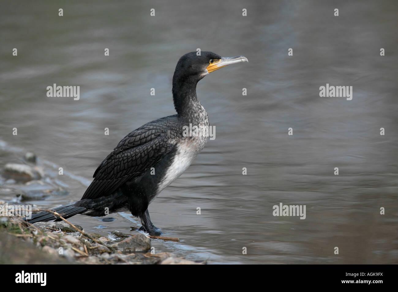 Kormoran Phalacrocorax carbo sitzt am Wasser Great Cormorant  near water - Stock Image