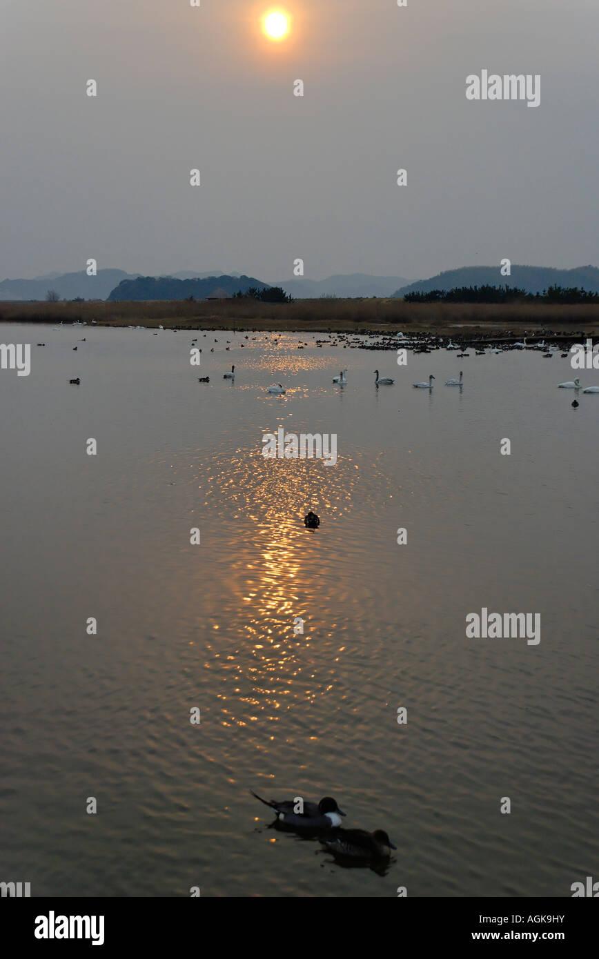 Bewick's swans, the Yonago Waterbirds Sanctuary. Yonago Japan - Stock Image