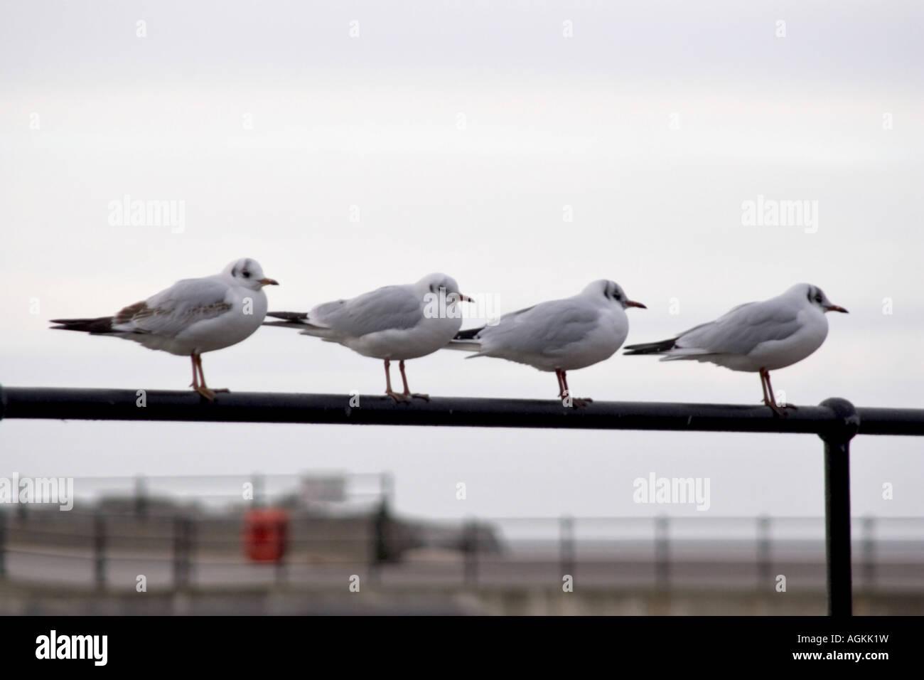 4 gulls on a rail - Stock Image