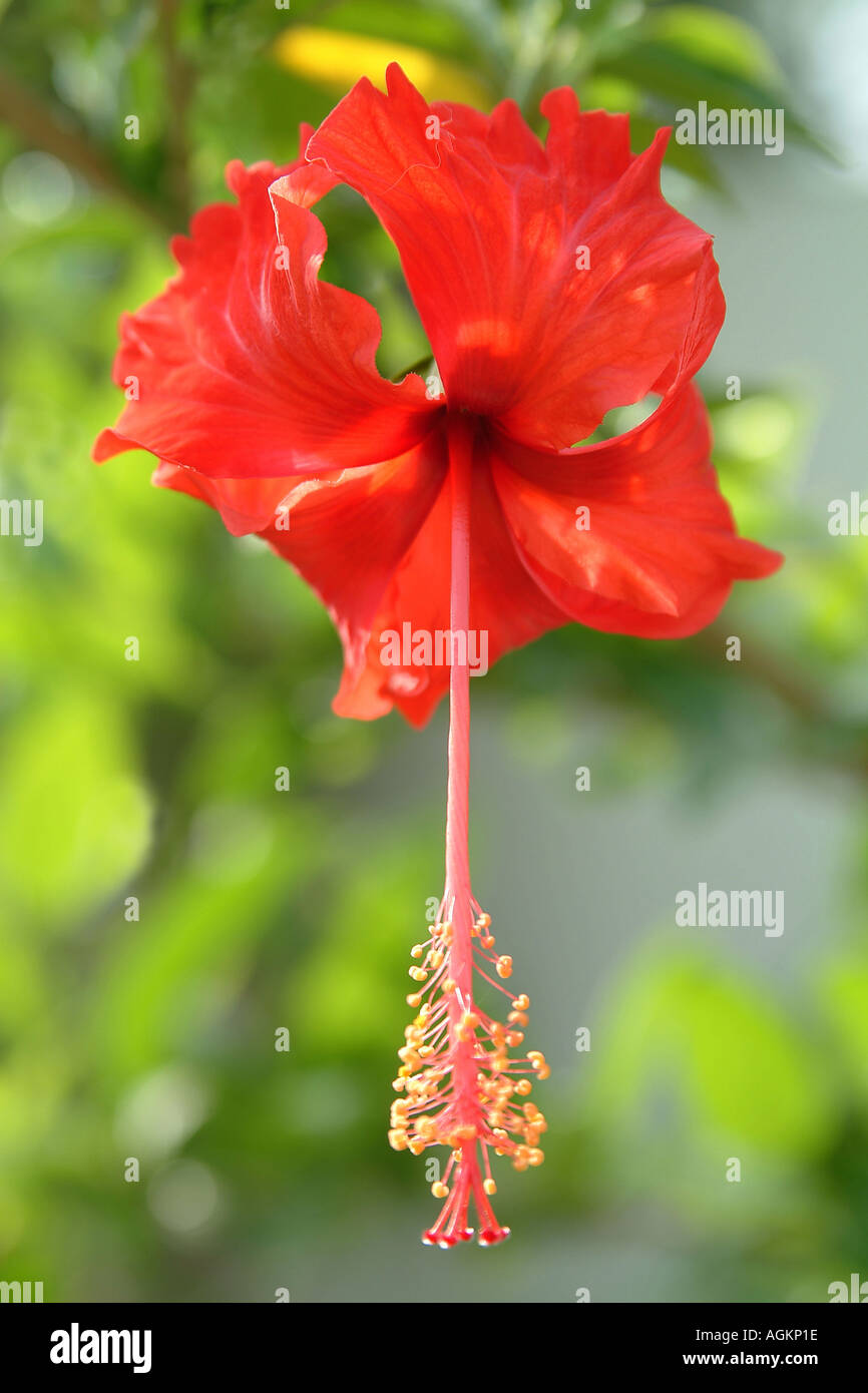 Red Hibiscus Flower From Nothern Part Of India Called Punjab Stock