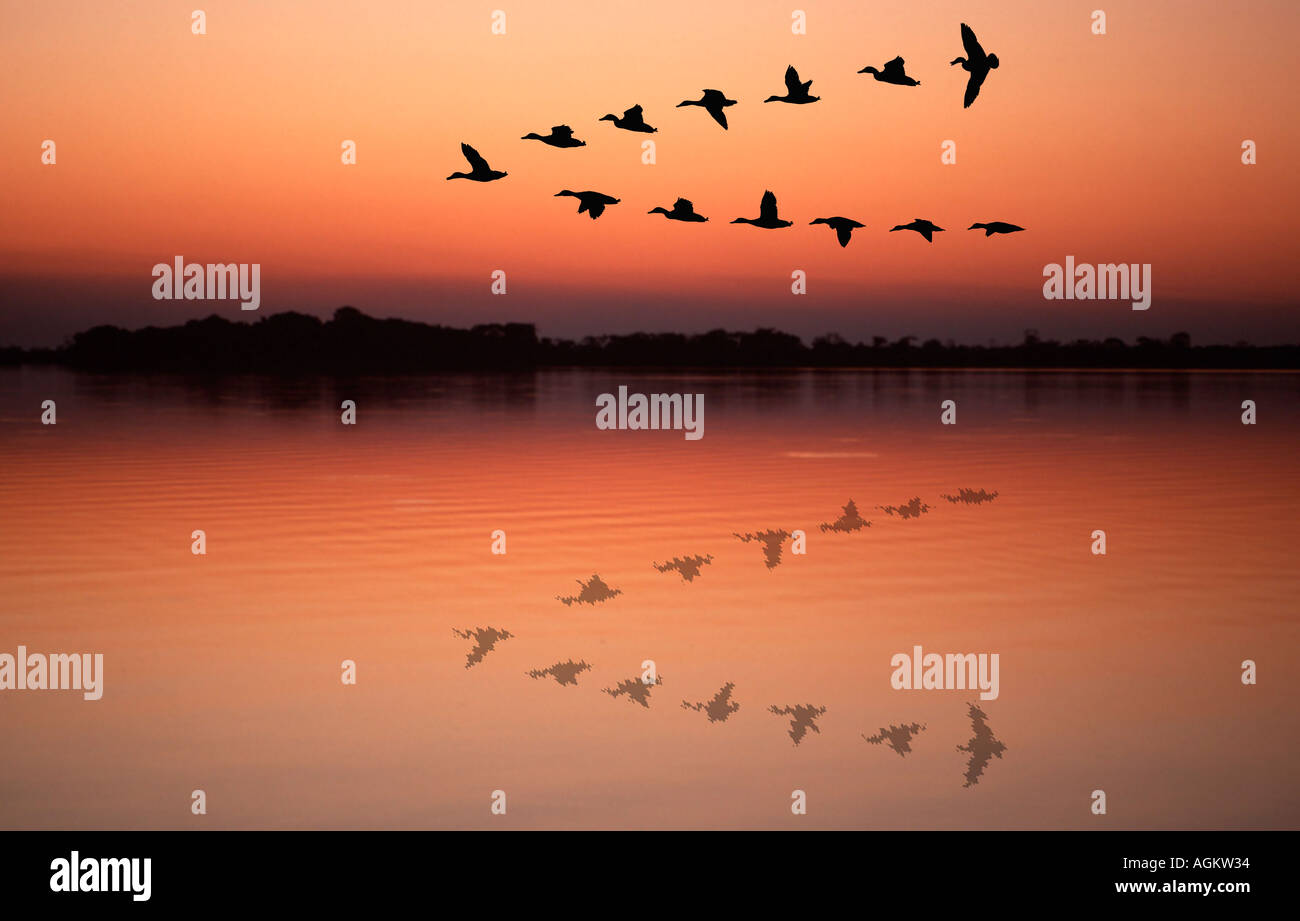 Ducks flying in v formation reflected in lake in sunset - Stock Image