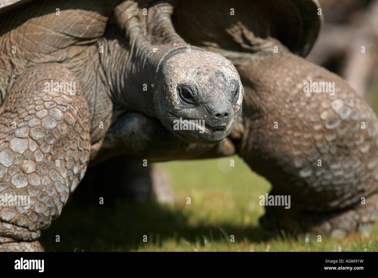 Aldabra Riesenschildkroete Seychellen Riesenschildkroete Dipsochelys elephantina - Stock Image