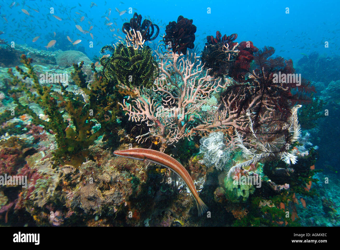 Cigar wrasse Cheilio inermis swims by corals and feather stars Kilima steps Puerto Galera Mindoro Philippines - Stock Image