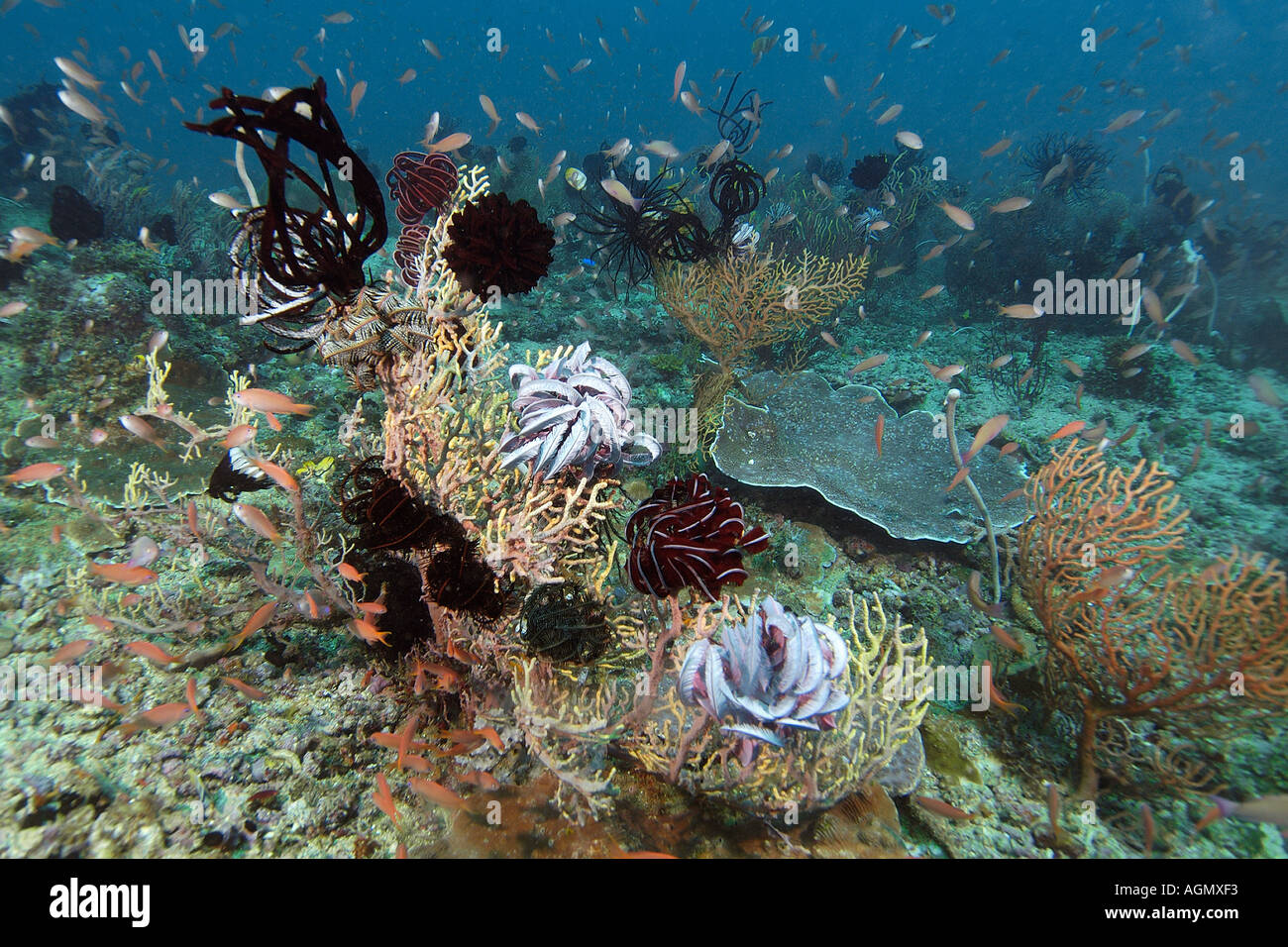 Highly diverse sea floor including sea fans feather stars and anthias Kilima steps Puerto Galera Mindoro Philippines - Stock Image