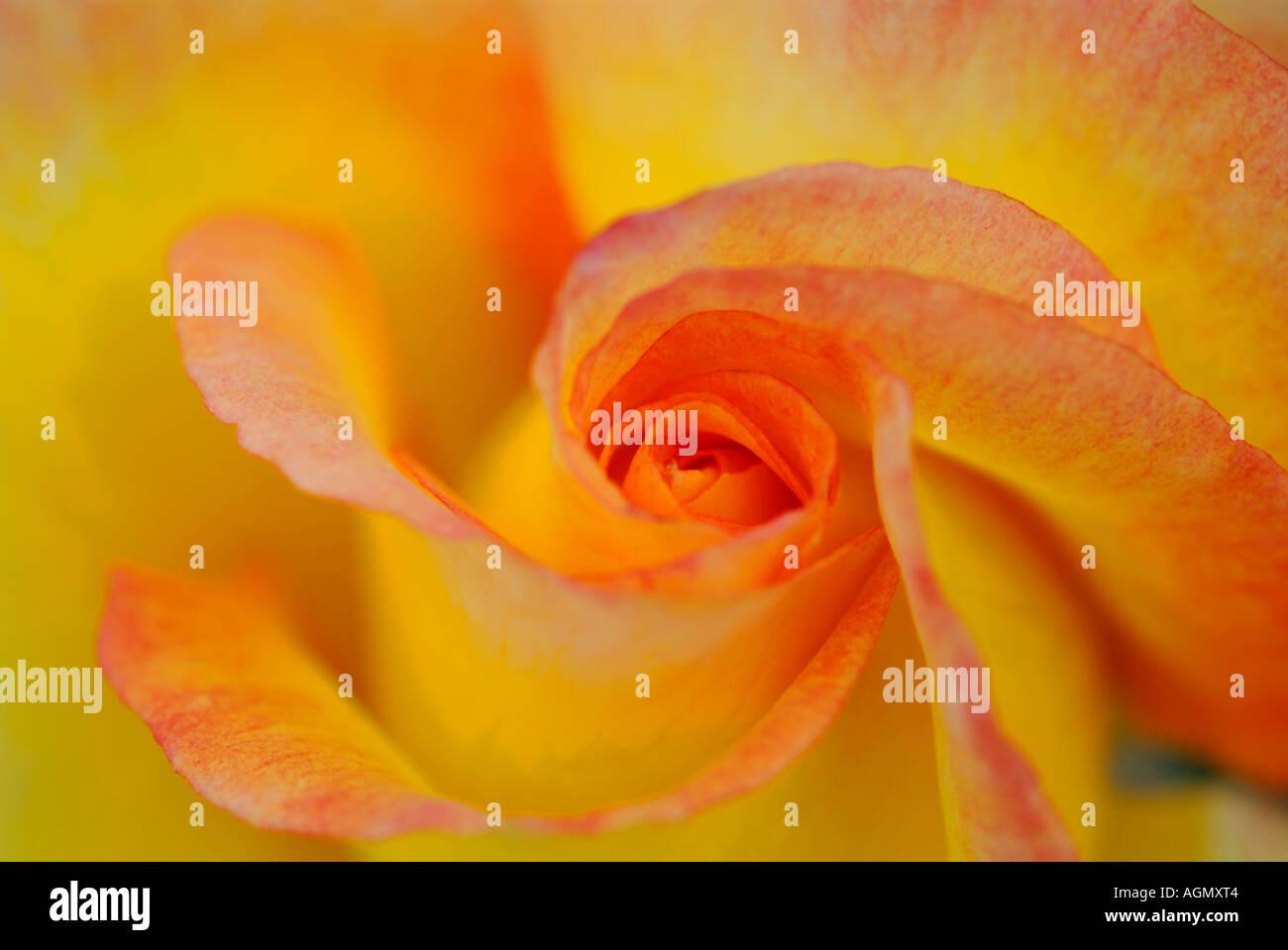 Rosa SOLITAIR - Stock Image