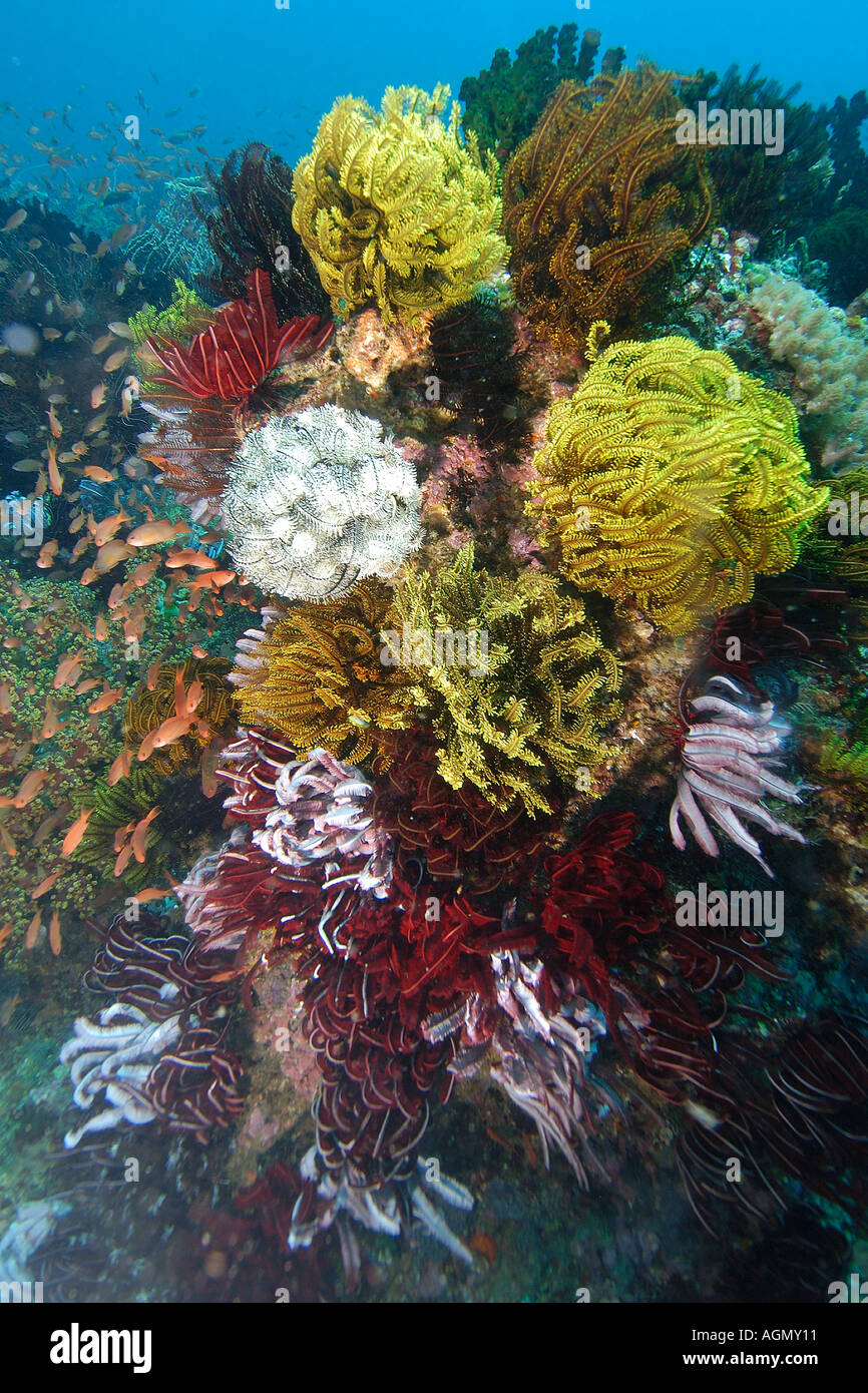 Several species of feather star share a coral head Kilima steps Puerto Galera Mindoro Philippines - Stock Image
