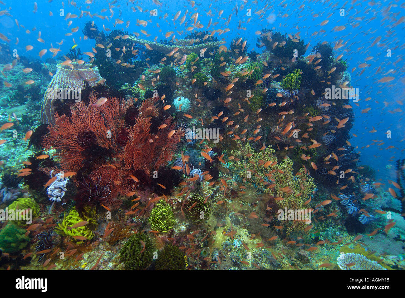 Highly diverse coral head including hard and soft corals feather stars and anthias Kilima steps Puerto Galera Philippines - Stock Image
