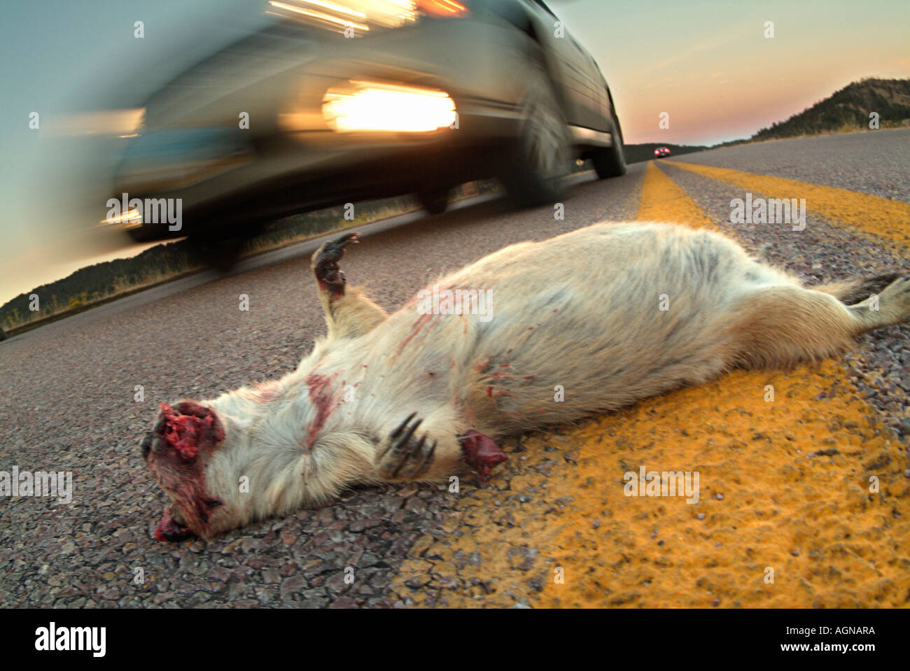 Roadkill of a Black Tailed Prairie Dog - Stock Image