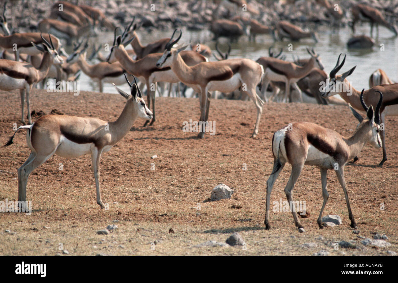 Springbok Anitdorcas marsupialis at a watering hole in Etosha National park Namibia Southern Africa - Stock Image
