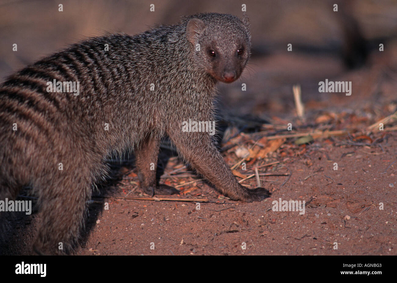 Meerkat Waterberg Plateau Namibia Southern Africa - Stock Image