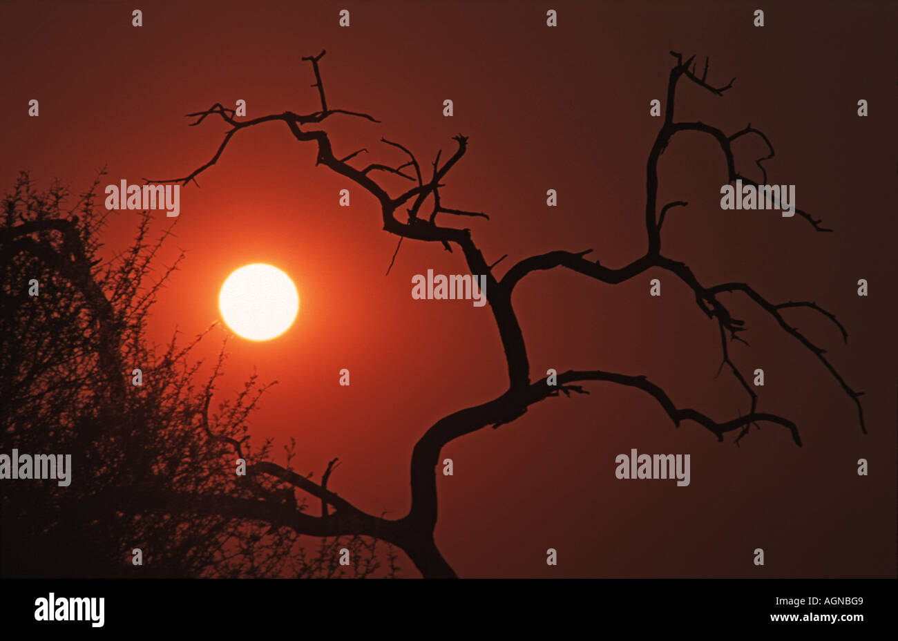 Silhouetted tree at sunrise Waterberg Plateau Namibia Southern Africa - Stock Image