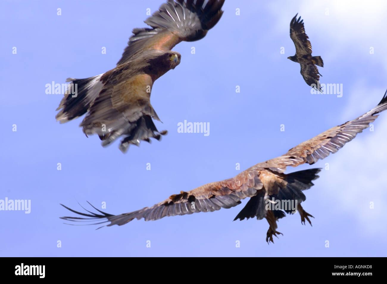 3 Three Group Eagles Eagle Birds Of Prey Exotic Birds Rapaces Falco Stock Photo Alamy