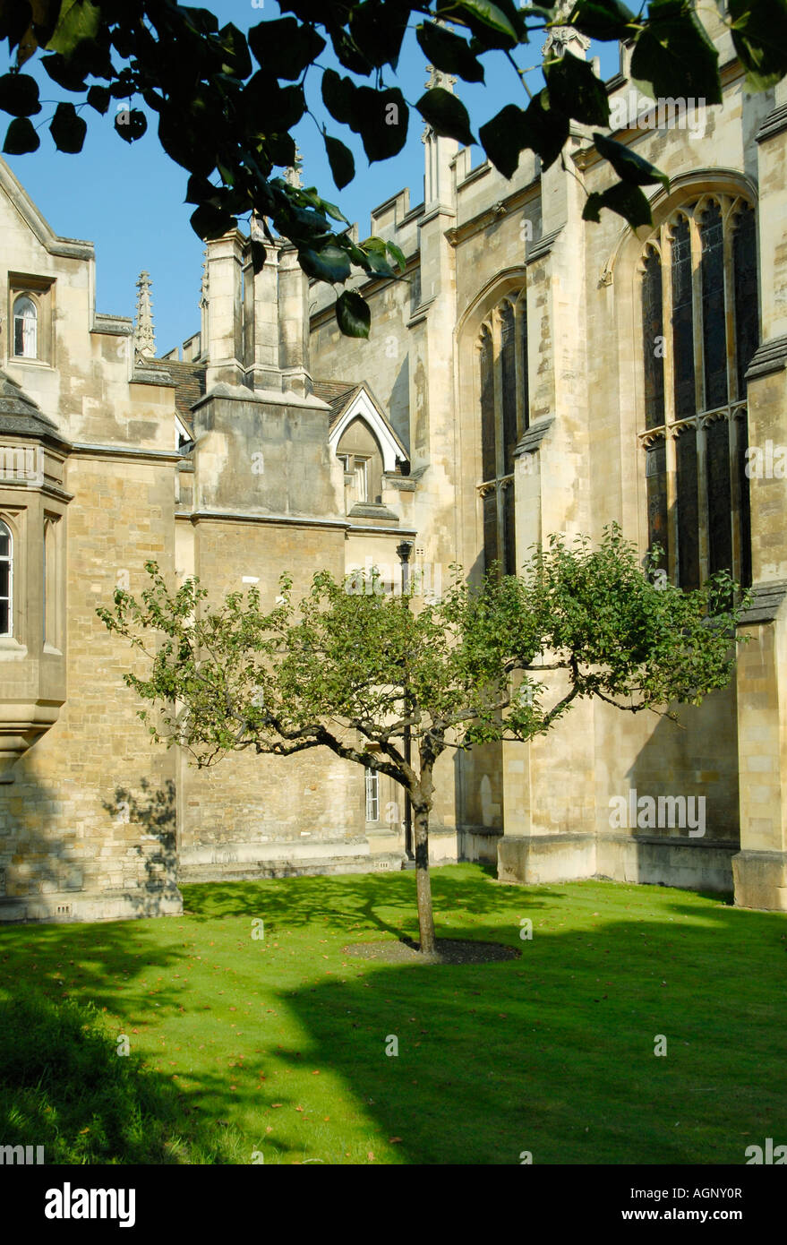 An apple tree in front of Isaac Newton s former rooms at Trinity College Cambridge England - Stock Image