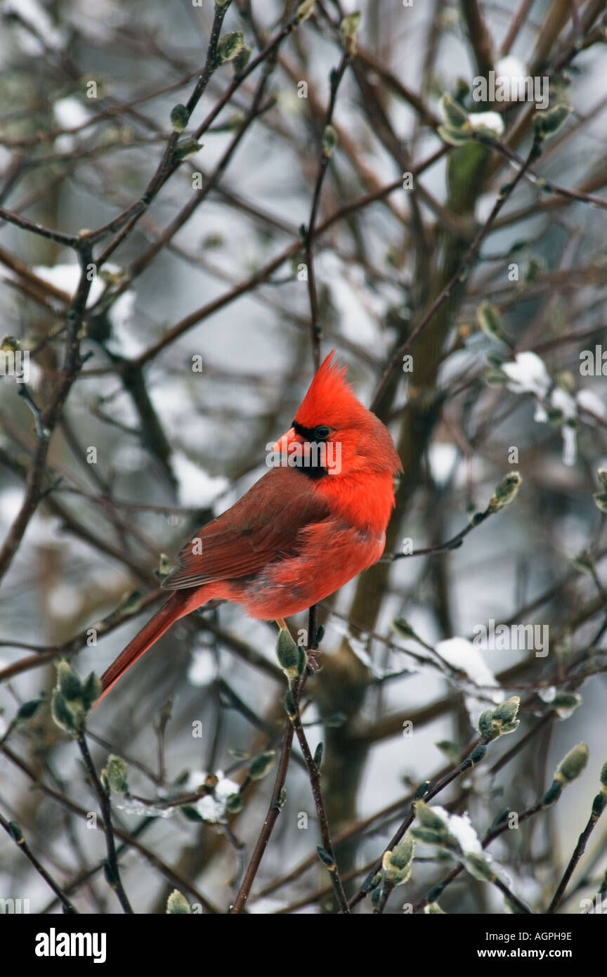 Cardinal Cardinalis cardinalis Male In Snow Blanketed Tree - Stock Image