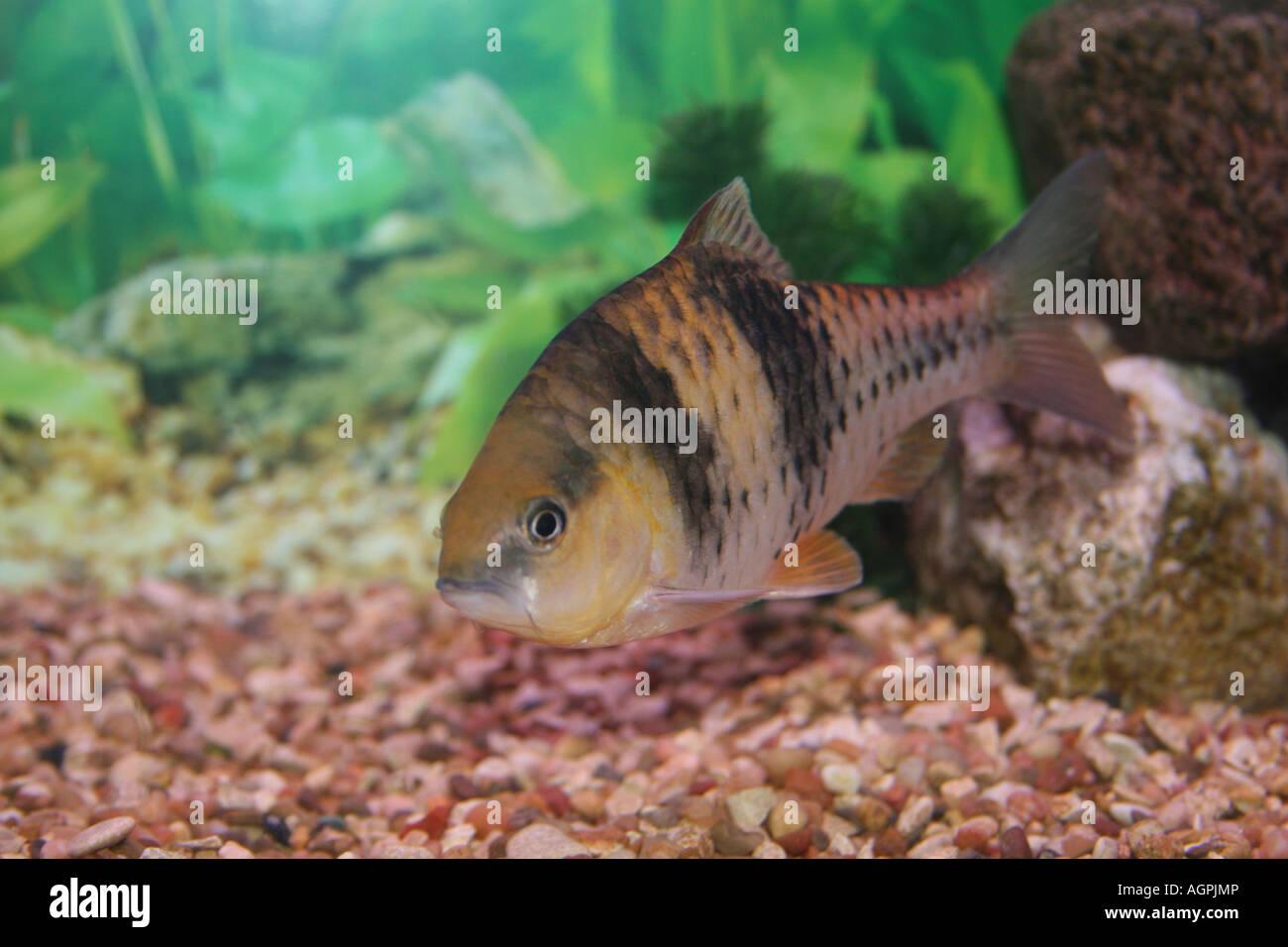 Spanner barb fish. - Stock Image