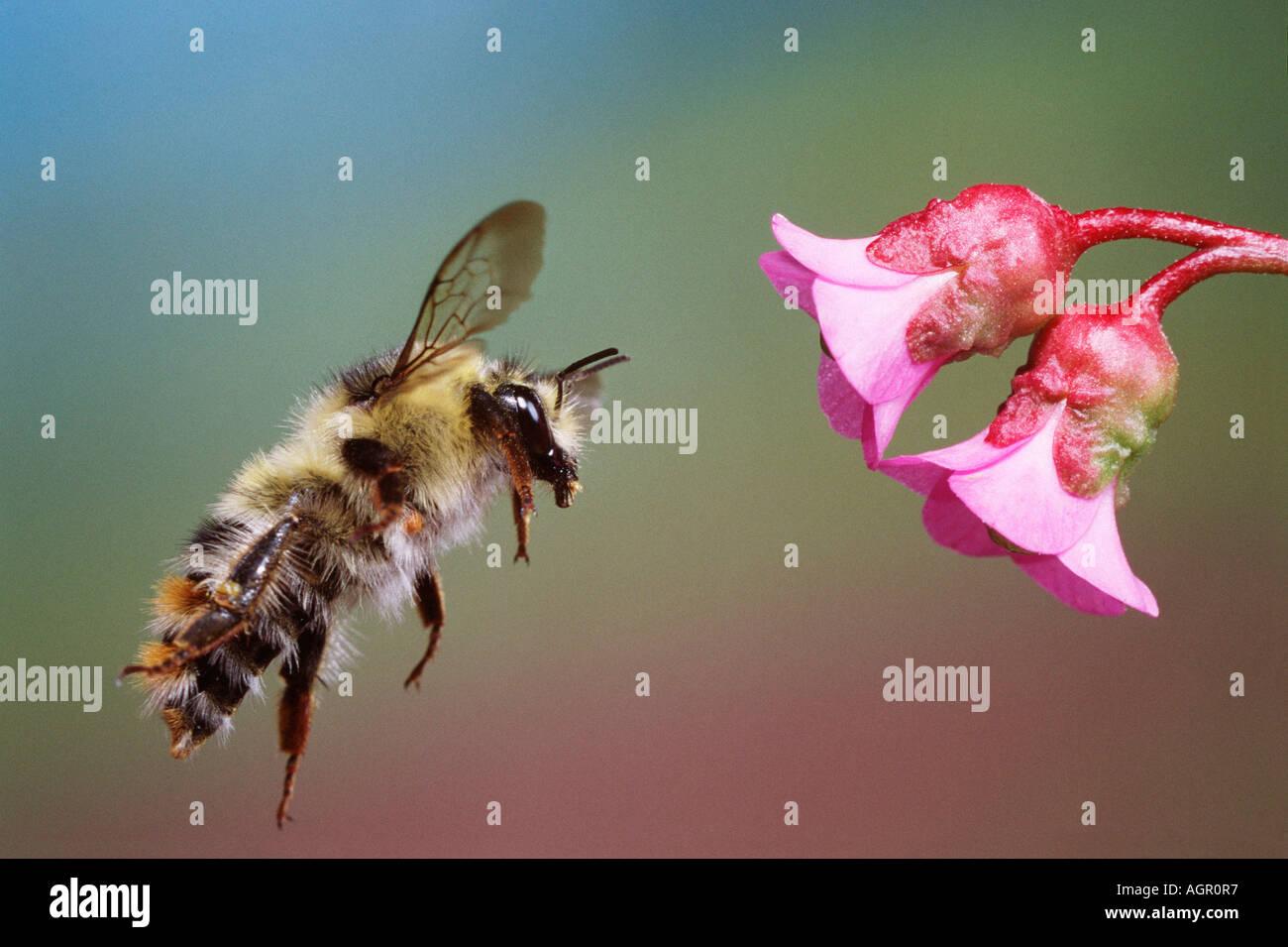 Cullum's Bumblebee / Cullumanus-Hummel - Stock Image