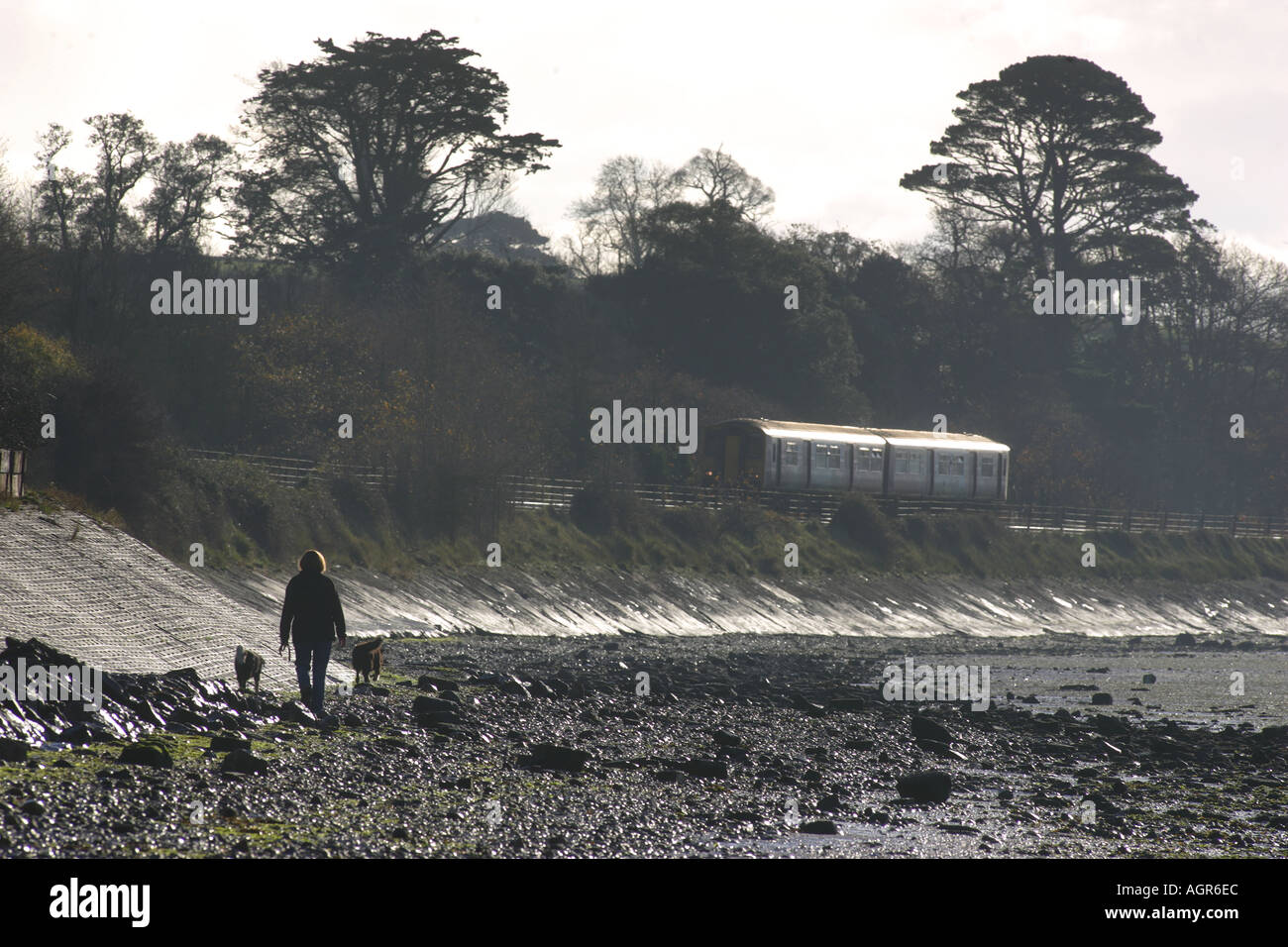 A walker is passed by a train on the Exmouth to Exeter branch line along the River Exe Estuary Devon - Stock Image