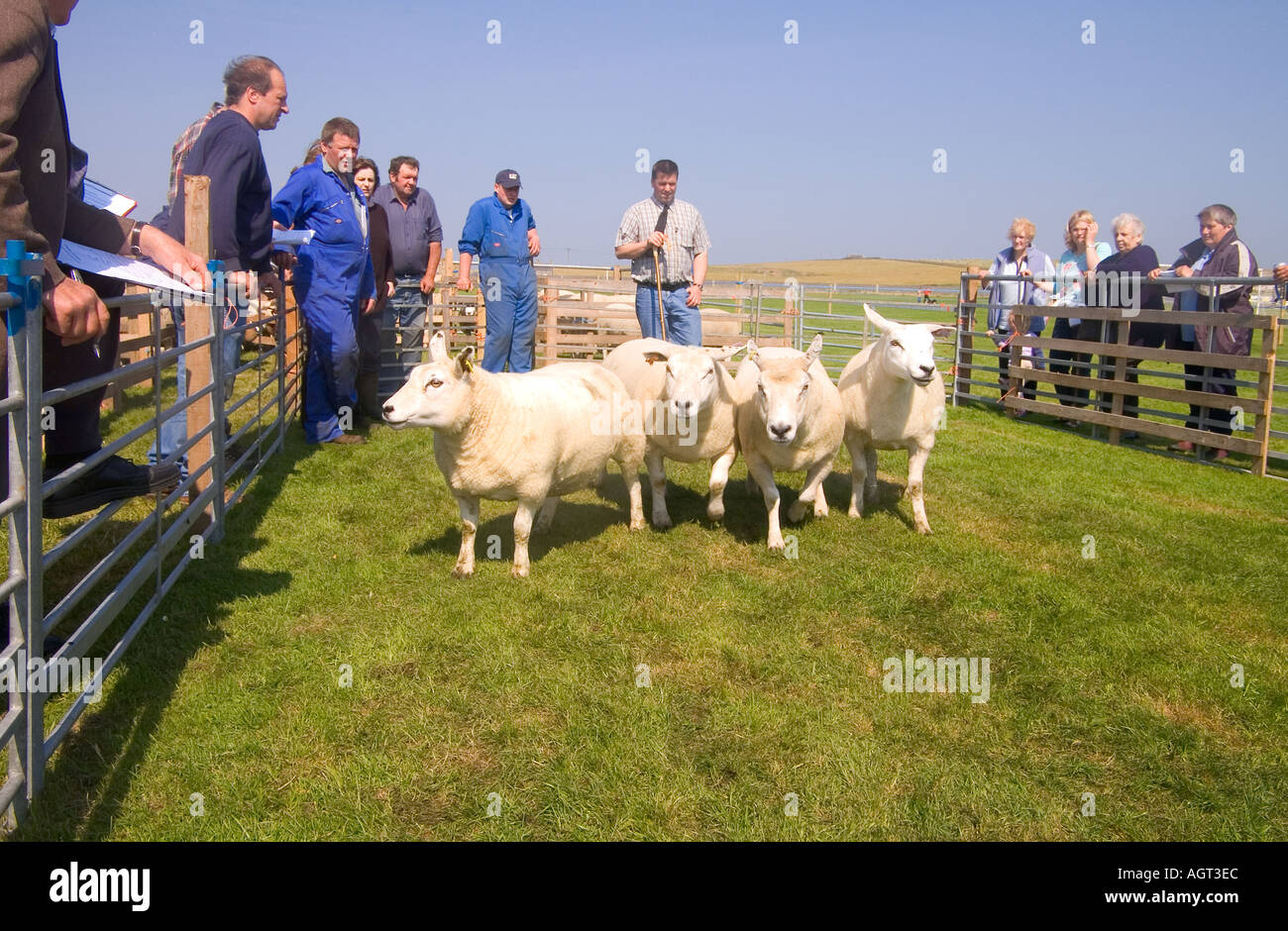 dh Annual Show SHAPINSAY ORKNEY Judge judging Ewe sheep at agricultural show Stock Photo