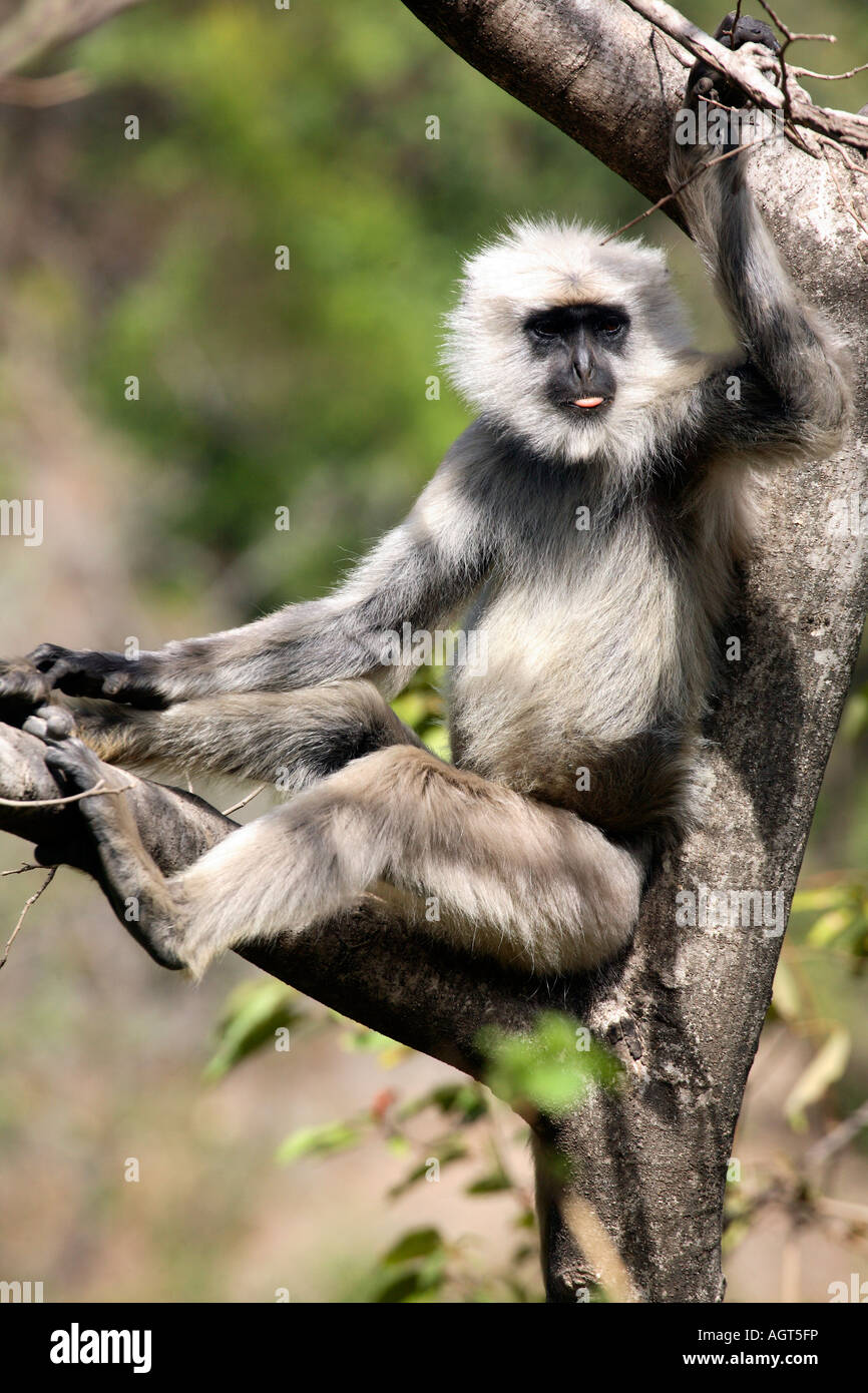 India Rishikesh Rajaji national park hanuman langur male langur resting in tree sticking out tounge 2007 - Stock Image