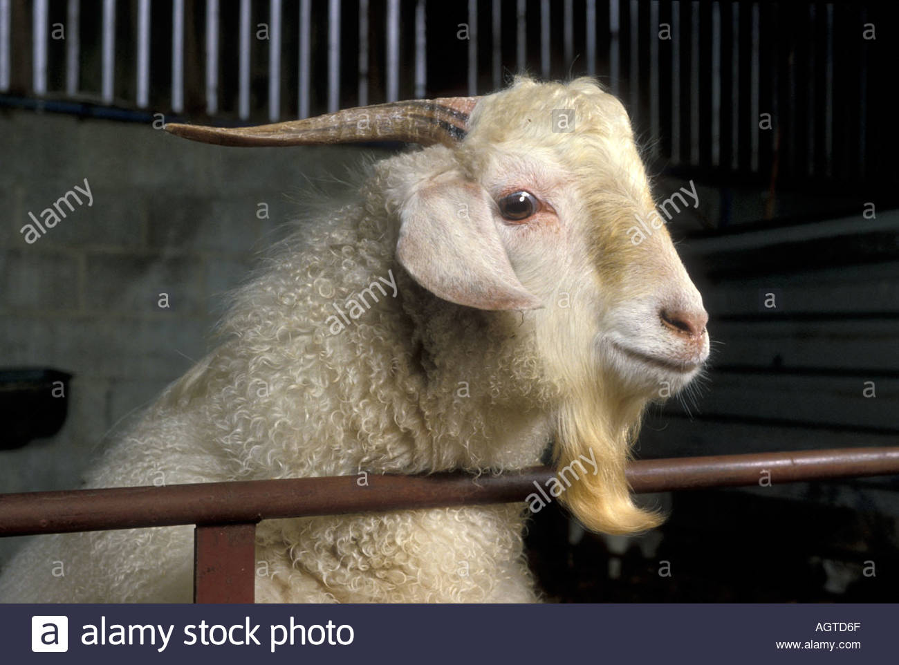 Cashmere goat farm UK Stock Photo: 2657646 - Alamy