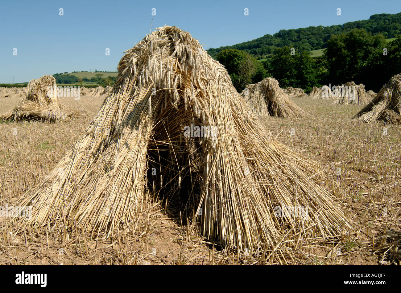 Close up of stooks of cut wheat in the field with long straw for thatching - Stock Image